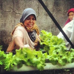 Salah seorang tetangga saya memanen Selada Hijau beberapa waktu lalu. (Foto: Yudha PS)
