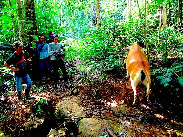 Berpapasan dengan sapi yang digembalakan di area Pasirbentang. (Foto: Yudha PS)
